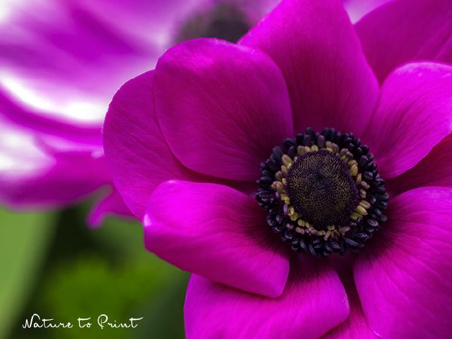 Blumenbild Anemone in Shocking Pink
