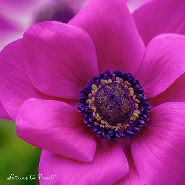 Blumenkissen Anemone in Shocking Pink