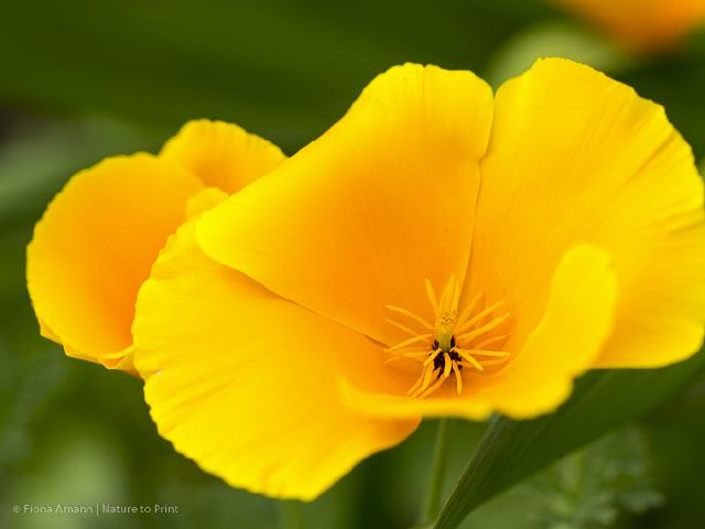 Blumenbild Californian Poppy