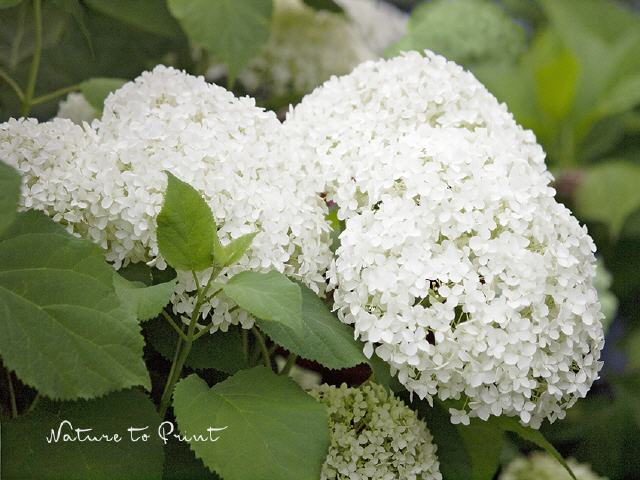Blumenbild Hortensie White Dream