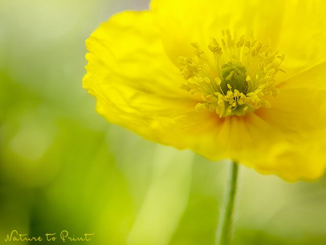 Blumenbild Little Miss Sunshine Poppy