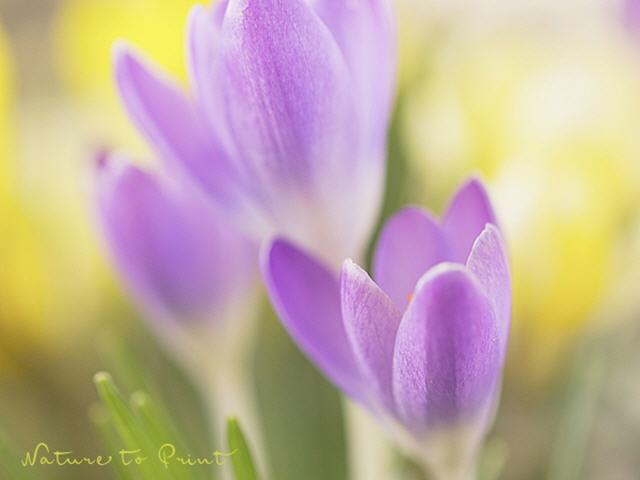 Blumenbild Crocus. Killing me softly, quer