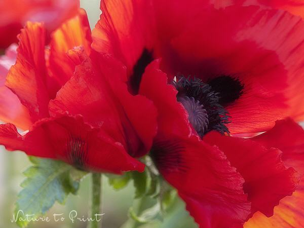 Blumenbild The Power of Poppy