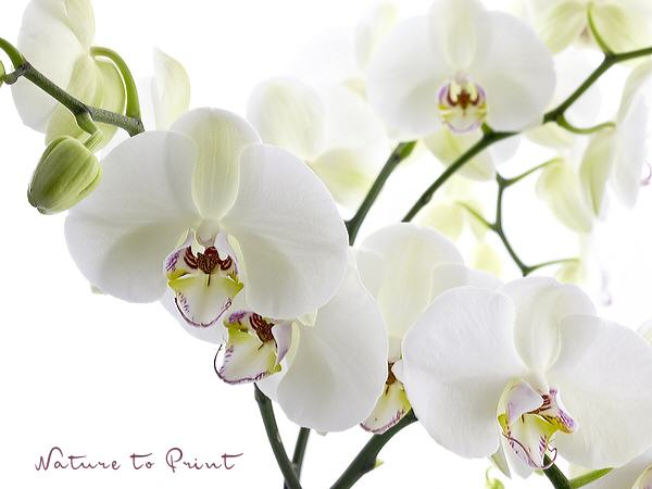 Orchideenbild: Big white Orchid III