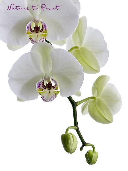Orchideenbild: Like a Virgin
